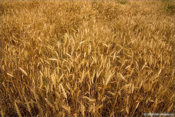 Золотые хлебные колосья