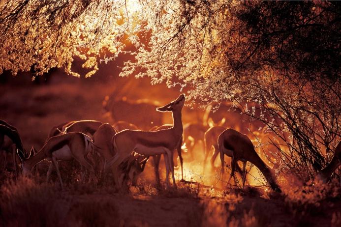 Спрингбоки, или антилопы-прыгуны в национальном парке Кгалагади в ЮАР. Их рост не превышает одного метра.  Фотограф и специалист по дикой природе Генрих ван ден Берг из Южной Африки выбирает необычные ракурсы, подлавливая животных во время сафари и экспедиций