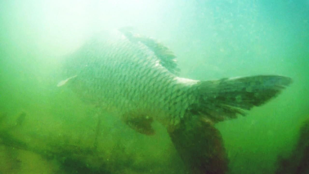 Карп чуть не сбил камеру, подводная съёмка