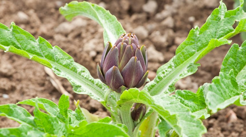 Выращивание артишока в подмосковье из семян (личный опыт)