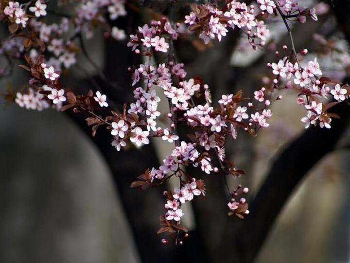 Цветы японской сакуры. Фото