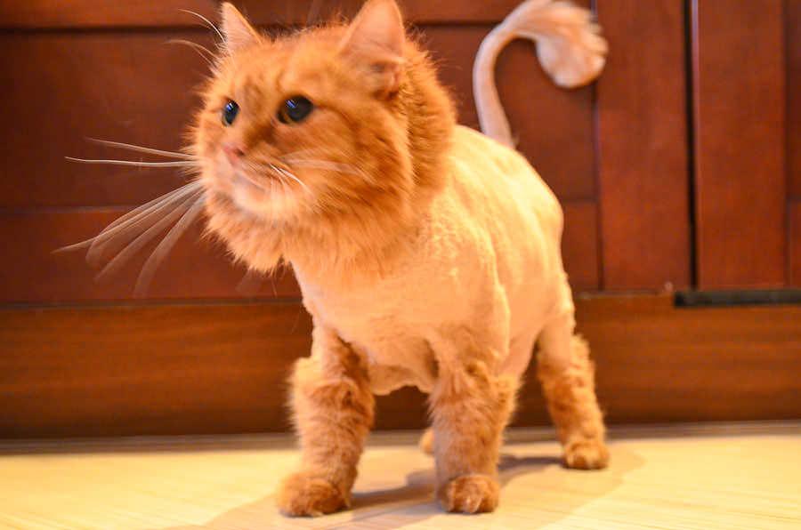Фото стрижек котов под льва