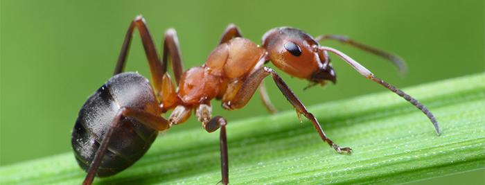 Как избавиться от муравьев, …