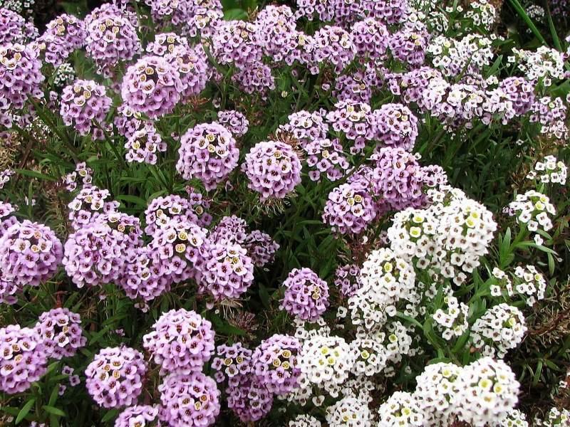 Ароматы вечернего сада: подборка лучших сортов душистых цветов