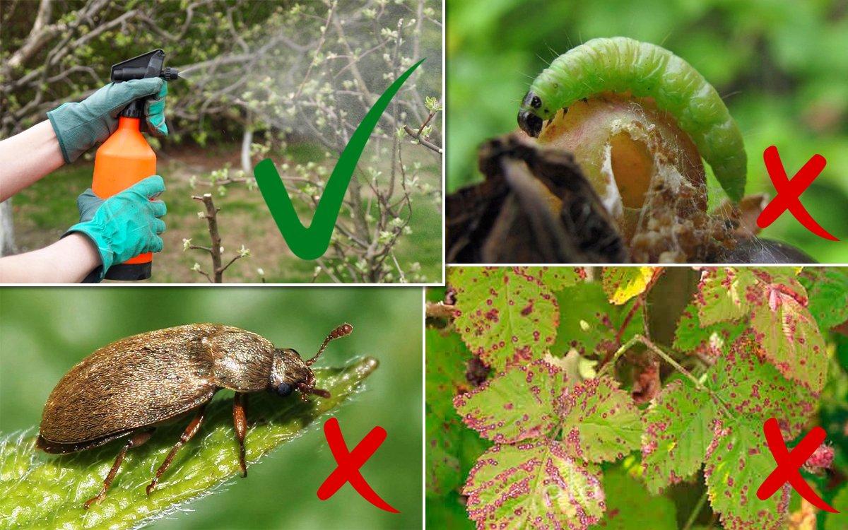 Обработка кустарников против болезней и вредителей