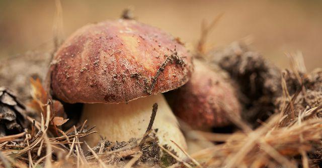 А почему бы и не белый гриб под березками вырастить?