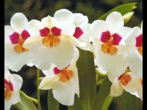 Релакс. Орхидеи. Часть 1 Орхидеи Запись Гала К .. познавательно, поучительно и просто красиво, ролик из интернета – Смотреть видео онлайн в Моем Мире.
