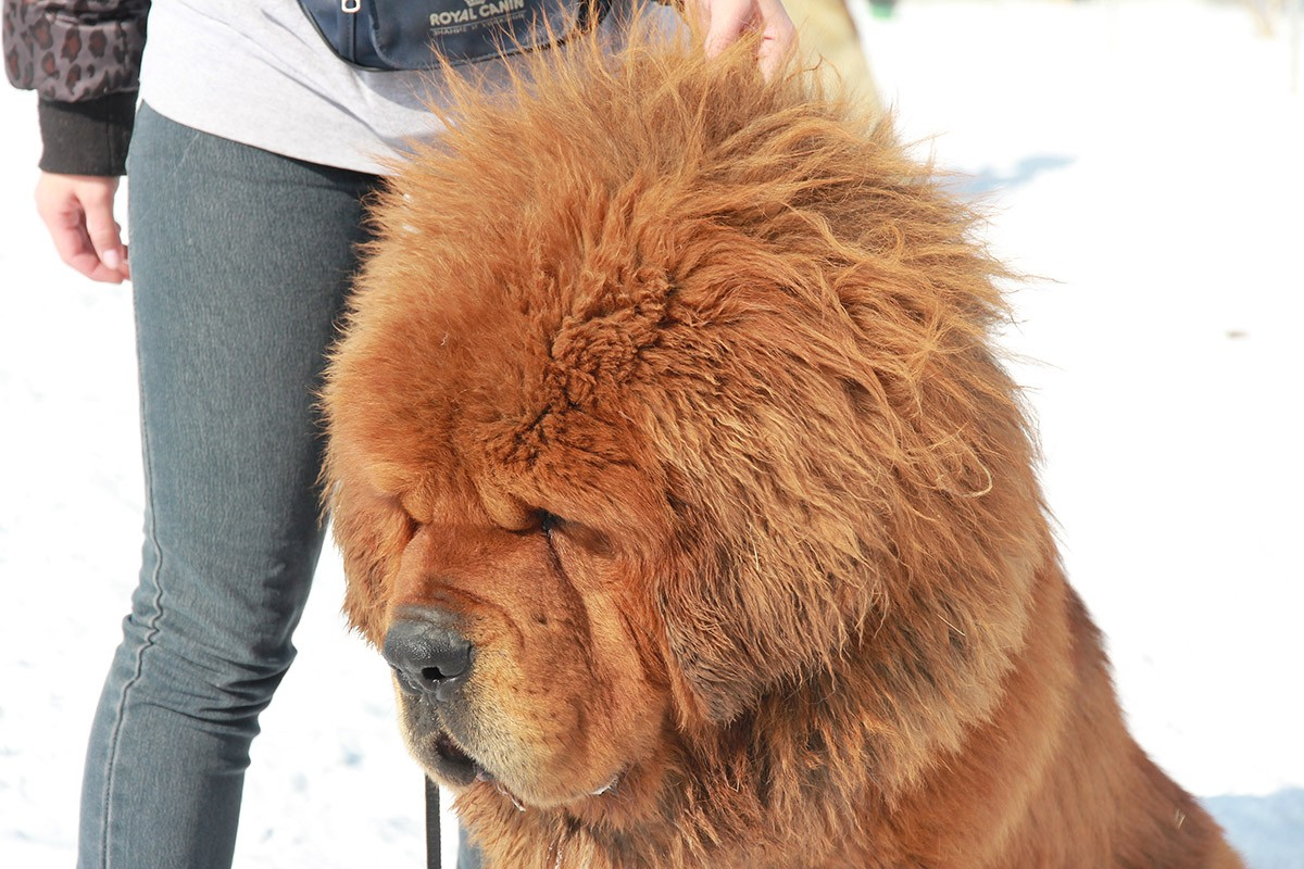 Gangsen15 Снежные львы: из Тибета в Казахстан