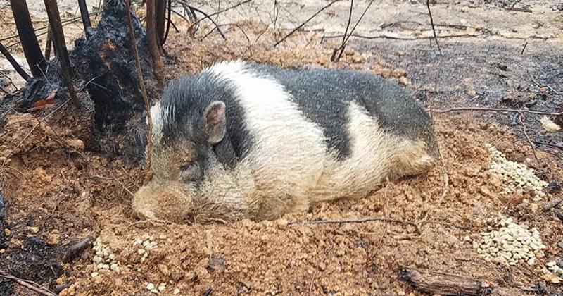 Лесной пожар лишил семью дома, но только не преданного питомца-хряка