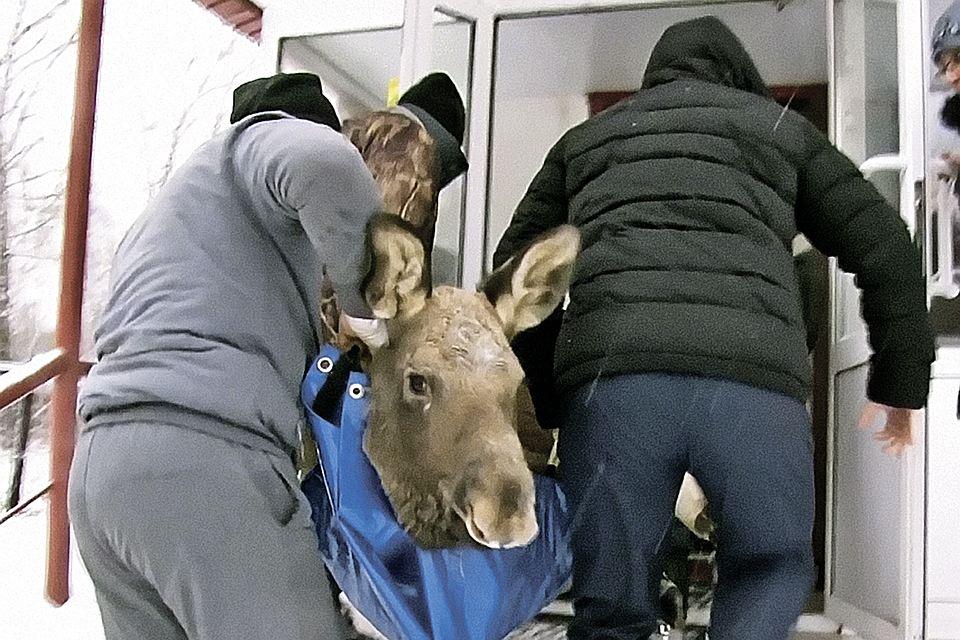К вам на прием ребенок-лосенок. Кемеровские ветеринары спасли очень необычного пациента