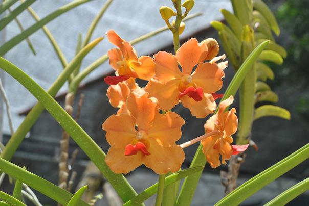 Картинки по запросу Доминиканская республика орхидеи