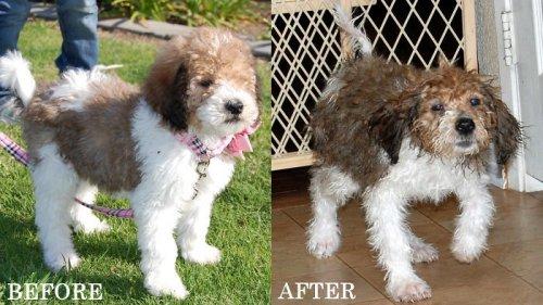 Собаки до и после купания (23 фото)