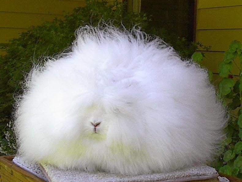 ангора-кролик-4