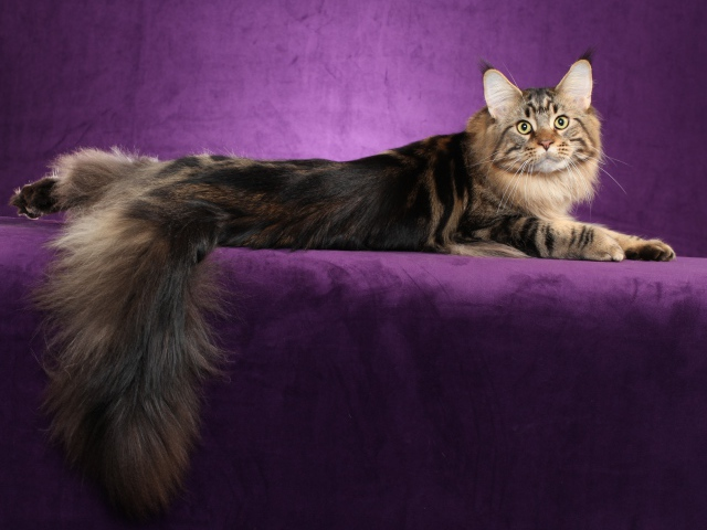 http://www.zastavki.com/pictures/640x480/2013/Animals___Cats_Maine_Coon_cat_posing_on_a_purple_background_044955_29.jpg
