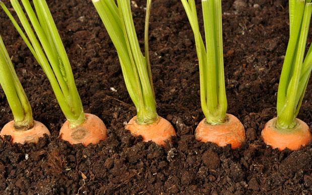 Позаботимся о моркови