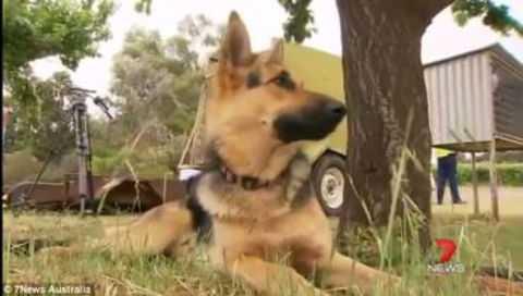 В Австралии пес 14 часов спасал двухлетнего ребенка от переохлаждения.