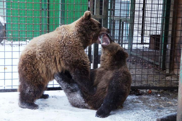 Медвежата, мать которых застрелили браконьеры, пришли к людям за помощью
