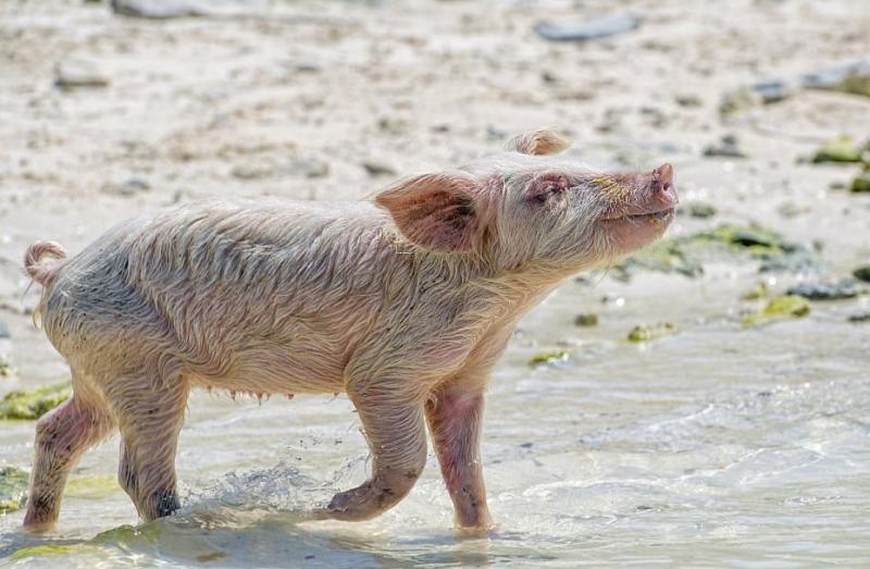 Необитаемый остров Пиг-Бич на Багамах, населённый невероятно милыми свинками