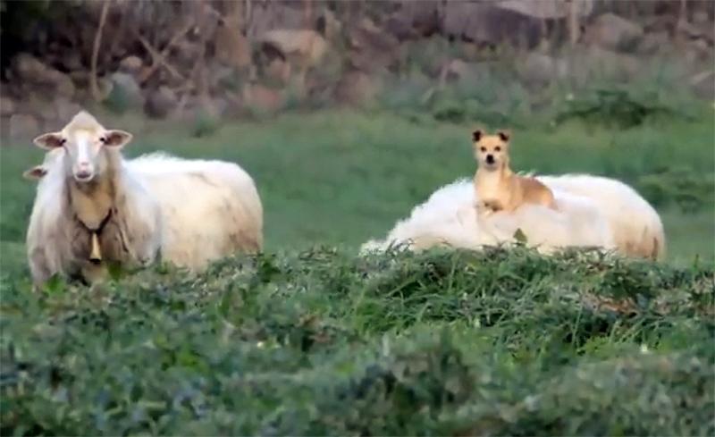 Фермер вышел проведать своих овец, но вот что он увидел...