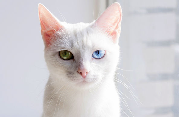 Питомец за полмиллиона: во Владивостоке мужчина продает кота редкой породы
