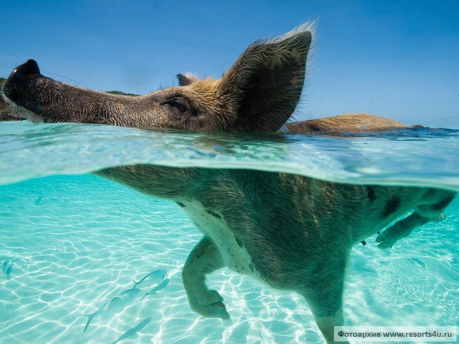 Плавающие свиньи на Багамах