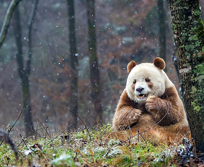 Единствення в мире коричневая панда живет в Шаньси