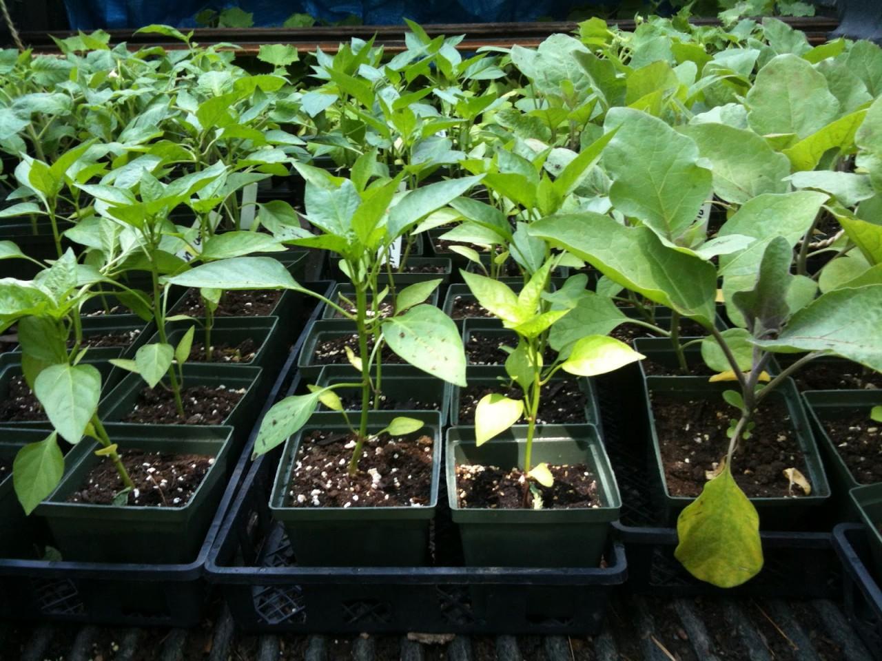 Проблемы с рассадой баклажанов и пути их решения 11