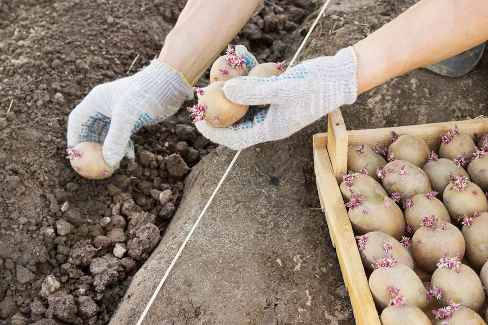 Сажаем картофель и раннюю редиску