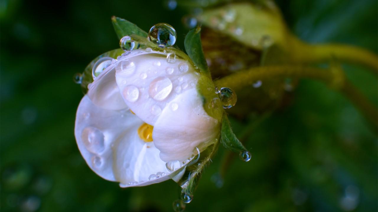 Скачать макро, белый, зелень, капли, роса, бутон, цветок, фото, обои, картинка #12524710 - 100500oboev.ru