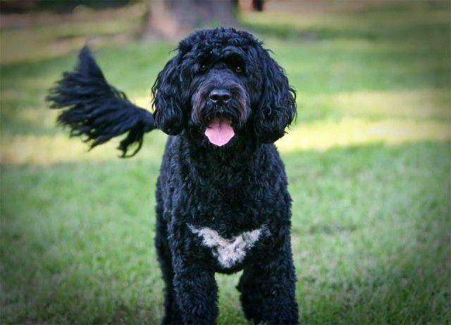 4. Португальская водная собака Порода, собака