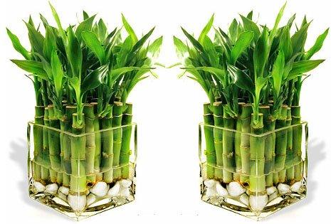Комнатный бамбук - растение удачи.