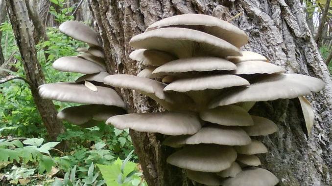 Чем полезны грибы вешенки?