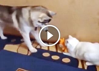 Вежливый хаски просит кота вернуть его игрушку