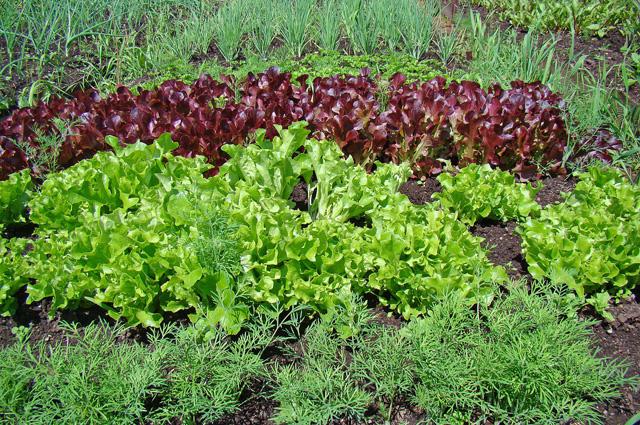 Что сделать, чтобы салат и укроп выросли как можно раньше