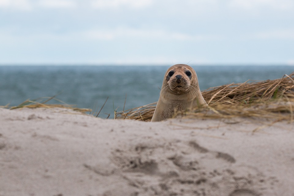 На пляже в Балтийске нашли раненого тюлененка с крючком в губе