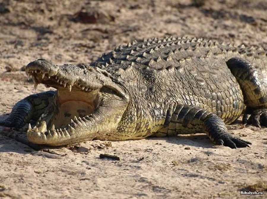 Крокодил в Африке откусил туристу ногу