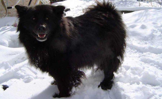 23. Шведский лапхунд Порода, собака