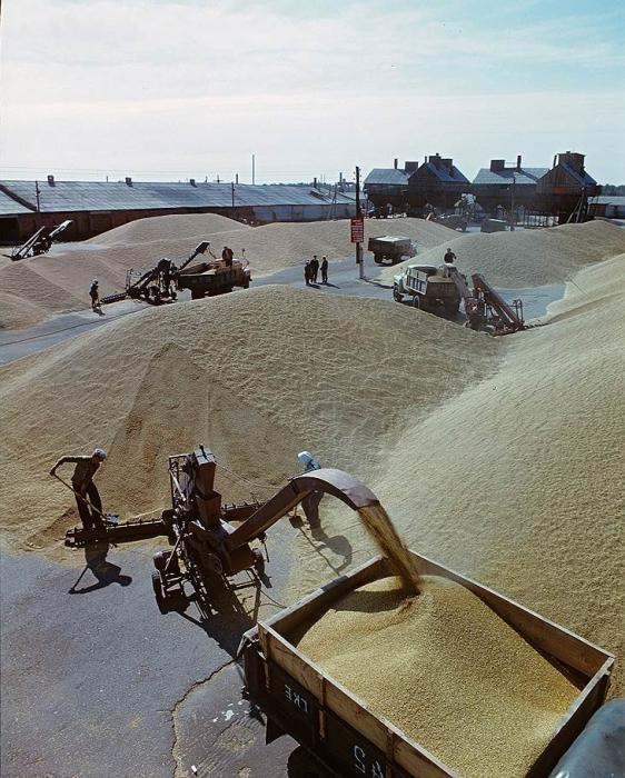 Люди с помощью машин собирают зерно, чтобы отправить его на центральный ток, для дальнейшей обработки.