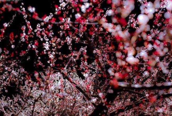 Волшебная японская весна в фотографиях Хиденобу Сузуки