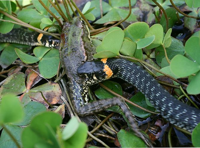 Но змее тоже нельзя мешкать, конкуренты не дремлют.
