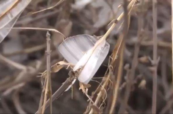 В Китай прилетели ледяные бабочки
