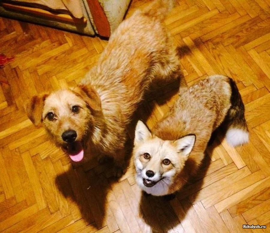 Счастливая жизнь спасенной лисы