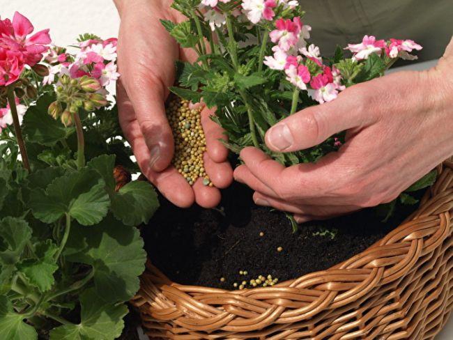 Необходимость в минеральных удобрениях повышается в вегетационный период, когда пеларгония активно растет и цветет