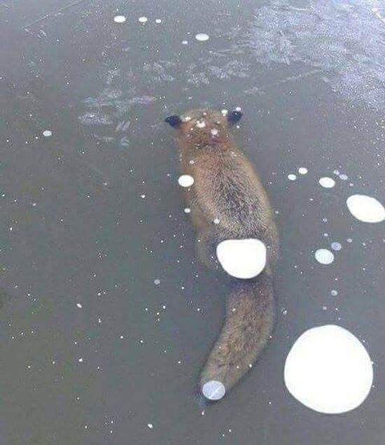 Лиса вмерзла в лед