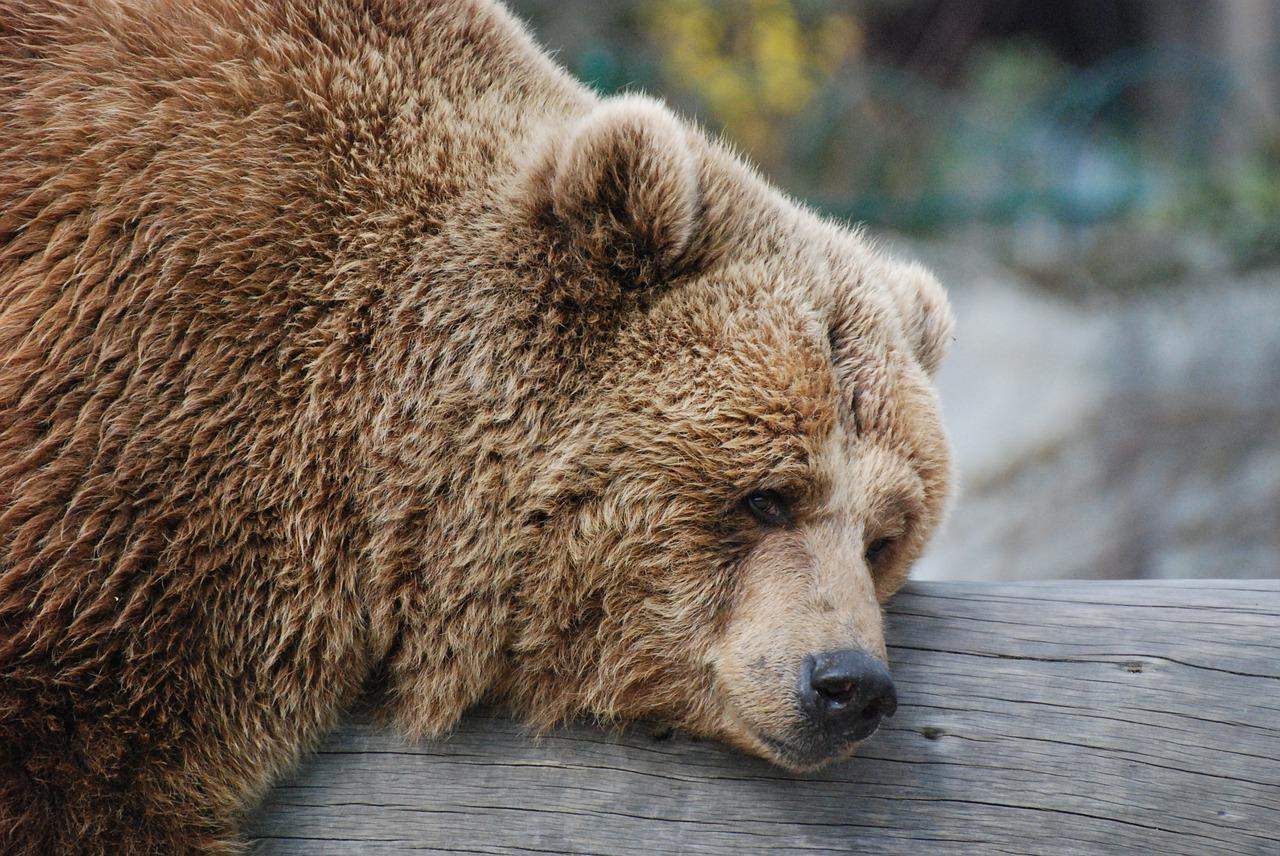 Найдены подозреваемые в убийстве медведя в Якутии
