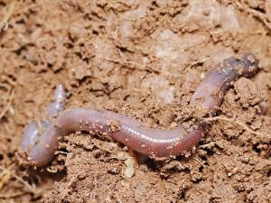 На сколько жизнеспособных частей можно разрезать червя.