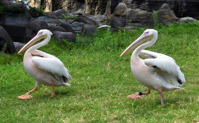 В японском зоопарке десять лет считавшийся самцом пеликан оказался самкой