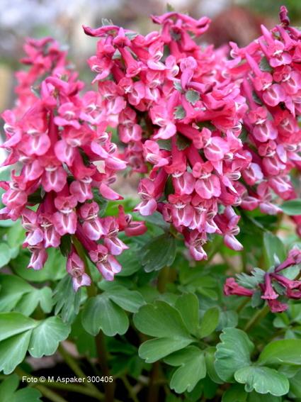 Фото и описание цветов хохлатка 63