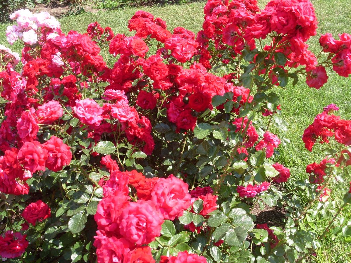 Сорт Летние звезды селекции Никитского ботанического сада