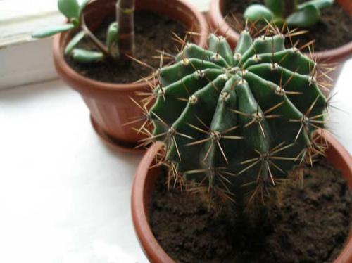 Эхинопсис- известный многим комнатный кактус